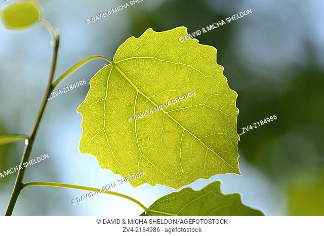 Close-op of European aspen (Populus tremula) leaves in a forest in spring