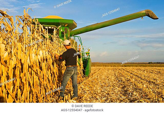 A farmer examines mature, harvest ready feed/grain corn in front of his combine harvester during the harvest, near Niverville; Manitoba, Canada