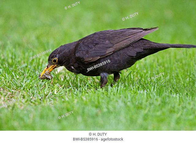 blackbird (Turdus merula), male with caught slug, Germany, Mecklenburg-Western Pomerania