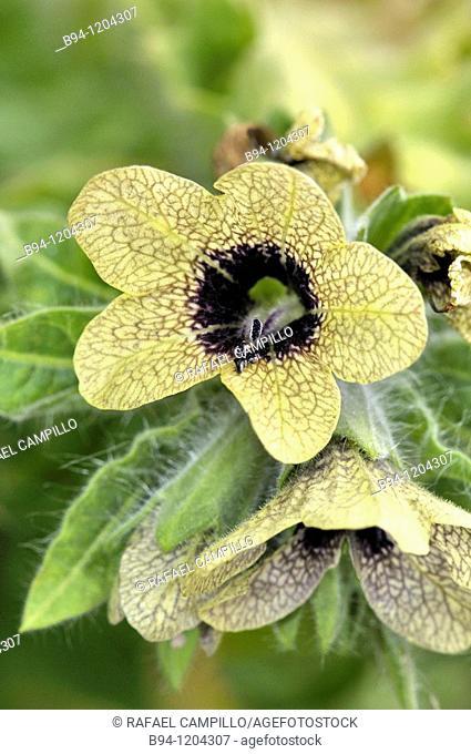 Henbane (Hyoscyamus niger, fam. Solanaceae) flowers. Osseja, Languedoc-Roussillon, Pyrenees Orientales, France