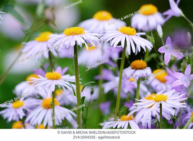 Close-up of European Michaelmas Daisy (Aster amellus) blossoms in a garden, Germany
