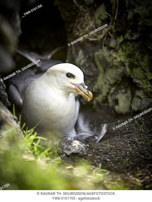 Northern Fulmar, Westman Islands, Iceland