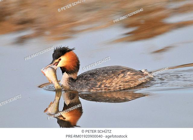 Great crested grebe with fish prey, Podiceps cristatus, Germany, Europe
