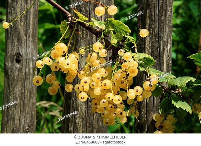 Ribes rubrum Blanka, Weiße Johannisbeere, White currant
