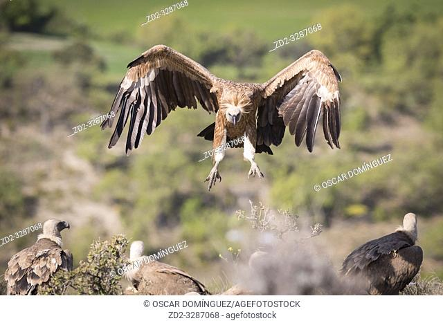 Griffon Vulture (Gyps fulvus) coming in to land on carcass. Lleida province. Catalonia. Spain
