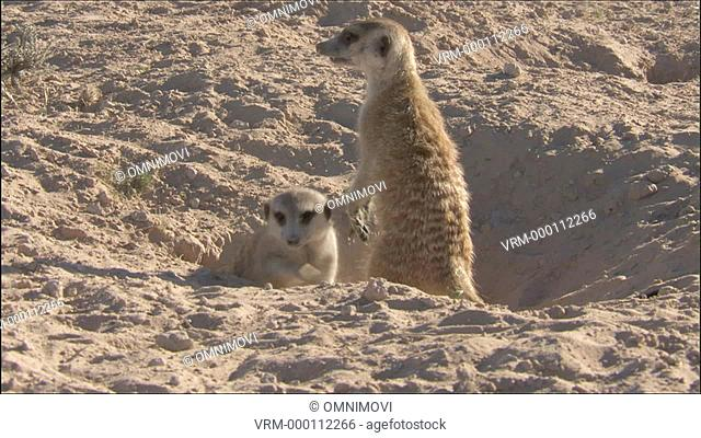 WS Meerkat leaving burrow / Kalahari Desert, South Africa