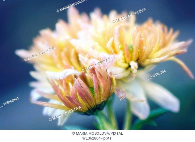 Chrysanthemum Flowers Covered with Frost. Dendranthema grandiflora. May 2006, Maryland, USA