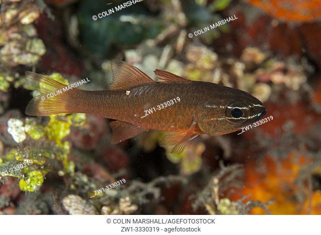Moluccan Cardinalfish (Ostorhinchus moluccensis, Apogonidae family), Joleha dive site, Lembeh Straits, Sulawesi, Indonesia