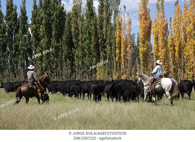 Beefmaster cattle, Chihuahua, Mexico