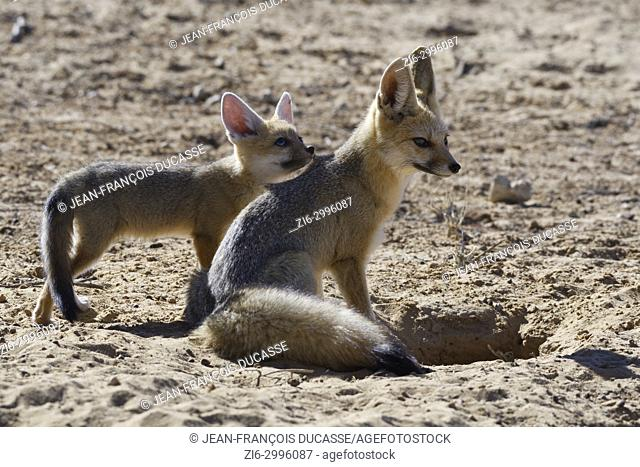 Cape foxes (Vulpes chama), sitting mother with cub looking up, at burrow entrance, morning light, Kgalagadi Transfrontier Park, Northern Cape, South Africa