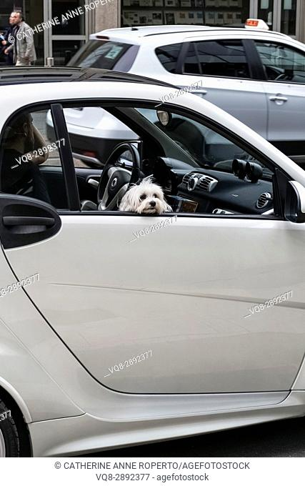 Small white dog peeping through small white car window on busy street near Milan Central Station, Italy