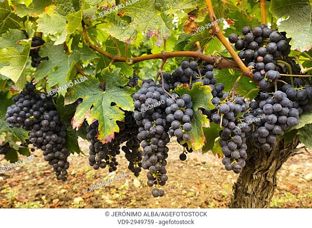 Vineyards. Pomerol. Bordeaux wine region. Aquitaine Region, Gironde Department. France Europe