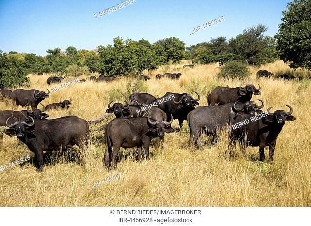 African or Cape buffalo (Syncerus caffer) herd in bush, Moremi Game Reserve, Botswana