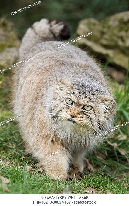 Pallas's Cat Felis manul adult, winter coat, walking, captive