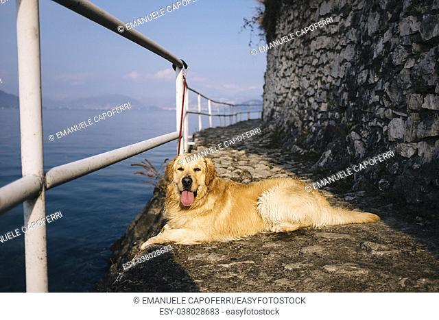 golden retriever posing while walking along the lakefront on a sunny day, Lake Maggiore, Italy,