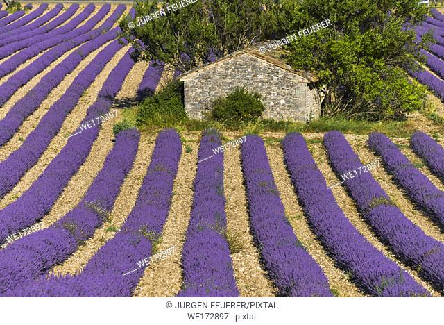 stone hut in the middle of a lavender field near Sault, Provence, France