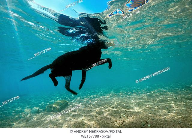 Black dog floats on the surface of water and carries a stone in the mouth