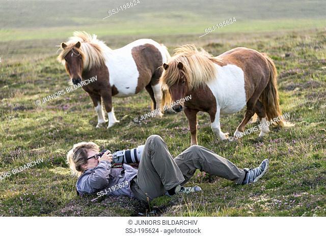 Shetland Pony Pair of skewbald adults watching photographer Christiane Slawik at work Unst, Shetlands