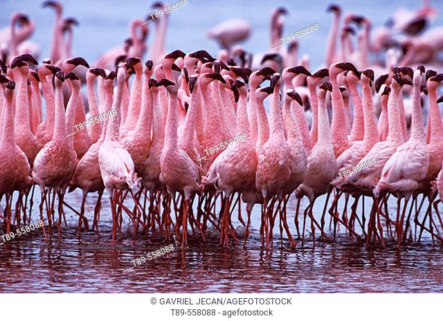 AFRICA, Kenya, Lake Nakuru Lesser Flamingo - Phoeniconaias minor