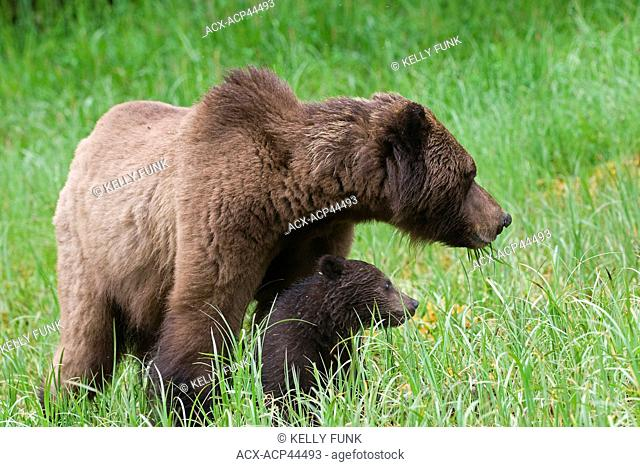 A sow Grizzly ursus Arctos and her young cub enjoy the high protein sedge grasses in the Khutzeymateen protected Grizzly preserve, North of Prince Rupert