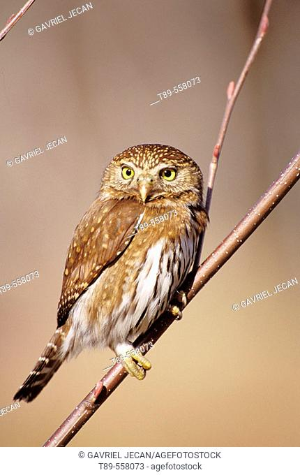 N.A., USA, Washington, Olympic National Park, Ferruginous Pygmy-Owl - Glaucidium brailianum