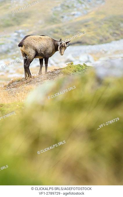 A chamois in high quote, on autumnal grasslands. (Valsavarenche, Gran Paradiso National Park, Aosta valley, Italy)