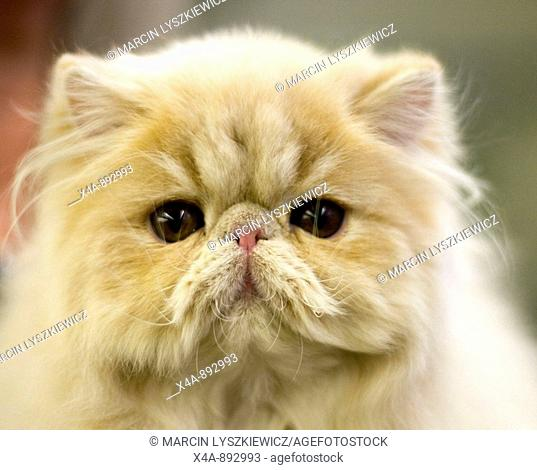 FIFe International Cat Show in Hamburg, Germany 2009, Persian cat
