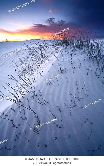 A patch of milkweed protrudes through the white sand dunes at sunset. White Sands National Monument at sunset. Alamogordo, New Mexico, USA