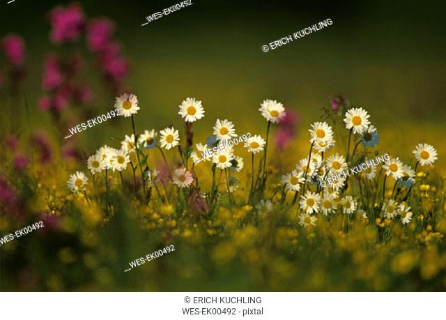 Oxeye daisy in field, close up