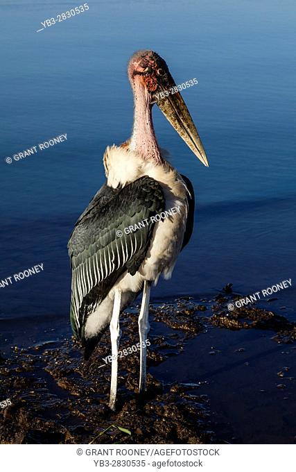 A Marabou Stork (Leptoptilos Crumenifer) Lake Awassa, Ethiopia