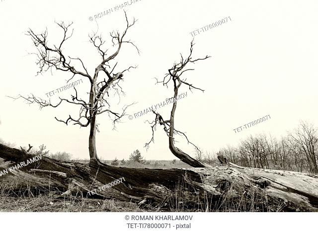 Ukraine, Dnepropetrovsk region, Novomoskovsk district, Bear branches of dead tree