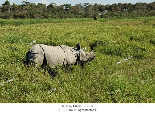 Indian Rhinoceros (Rhinoceros unicornis) or Great One-horned Rhinoceros, endangered, Kaziranga National Park, Assam, India