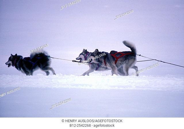 Siberian Husky - Canis familiaris