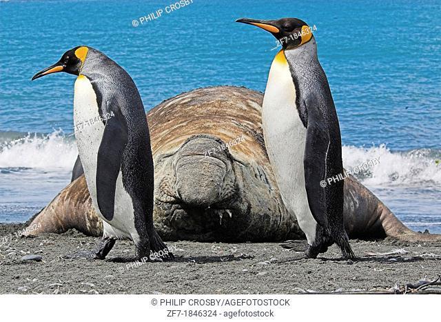 Two King Penguins Aptenodytes patagonicus walking past a Southern Elephant Seal Mirounga leonina, Gold Harbour, South Georgia