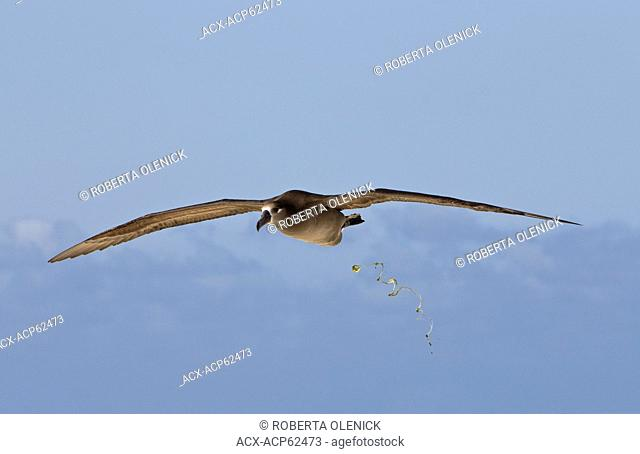 Black-footed albatross (Phoebastria nigripes), defecating in mid-air, Sand Island, Midway Atoll National Wildlife Refuge, Northwest Hawaiian Islands