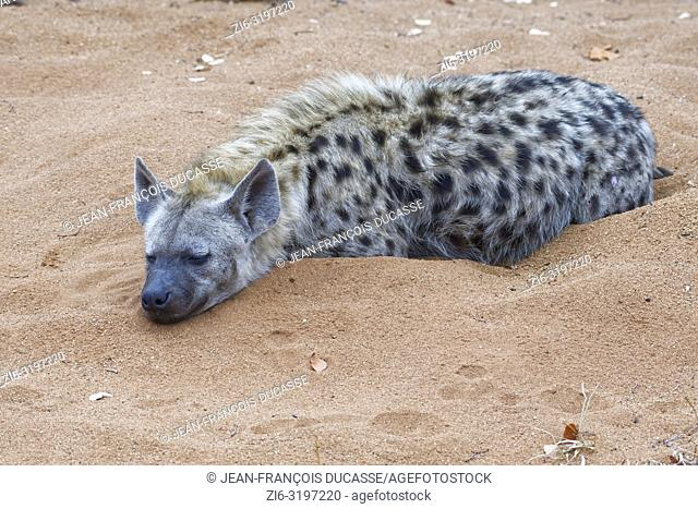 Spotted hyena (Crocuta crocuta), adult male lying on sand, sleeping, early in the morning, Kruger National Park, South Africa, Africa
