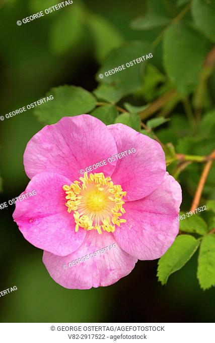 Wild rose, Willamette Mission State Park, Oregon