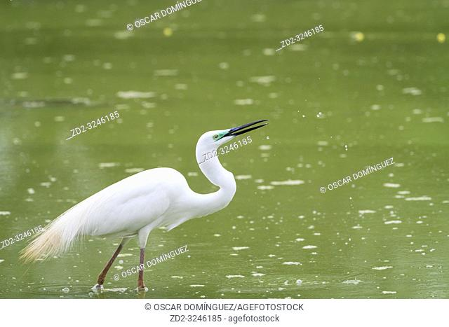 Great White Egret (Ardea alba) looking for food. Keoladeo National Park. Bharatpur. Rajasthan. India