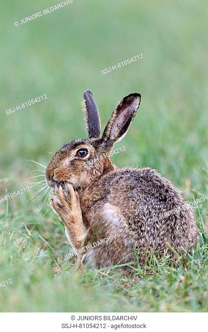European Brown Hare (Lepus europaeus). Adult on grass, grooming itself. Germany