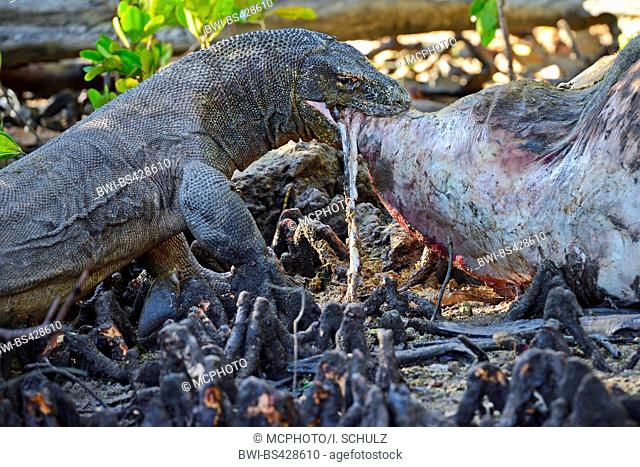 Komodo dragon, Komodo monitor, ora (Varanus komodoensis), feeding at a in the mangoves perished cadaver of a wild buffalo, side view, Indonesia
