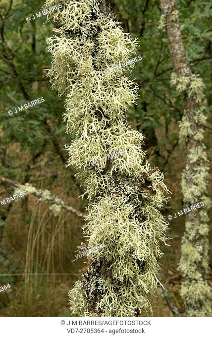 Oakmoss (Evernia prunastri) is a lichen used in perfumery how base notes of different fragrances. Is native to Europe and North America. Fungi