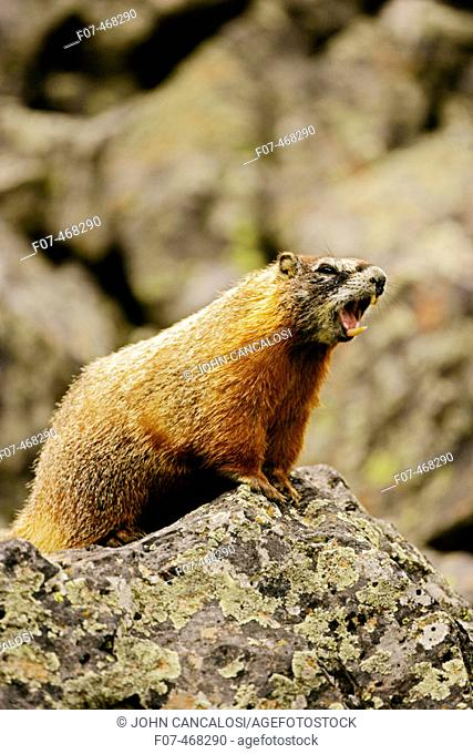 Yellow-bellied Marmots (Marmota flaviventris) Adult calling - Wyoming - Found in central to northwestern United States - Lives on rocky slopes or outcrops-on...