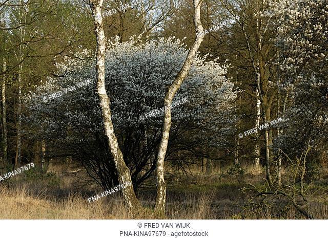 Juneberry Amelanchier spec. - National Park De Hoge Veluwe, Guelders, The Netherlands, Holland, Europe