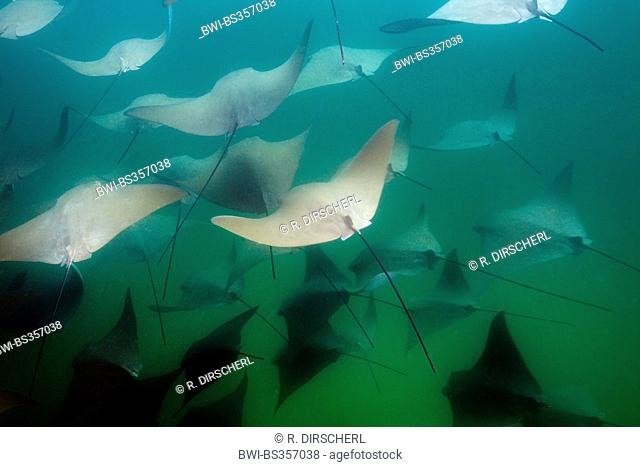 Cownose Ray (Rhinoptera steindachneri), School of Pacific Cownose Rays, Mexico, Baja California, Cabo Pulmo National Park