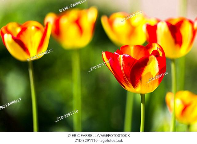 Spring tulips. Scottish garden uk