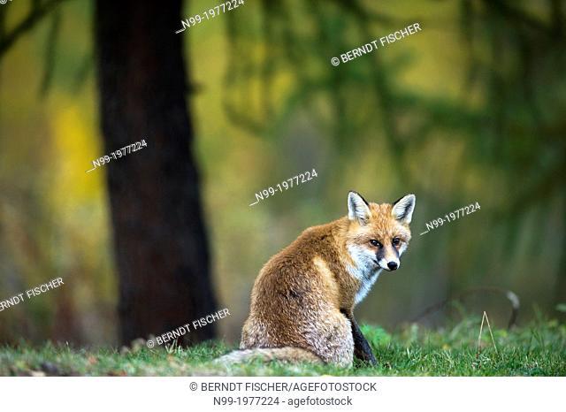 Red fox (Vulpes vulpes), National Park Gran Paradiso, Italy