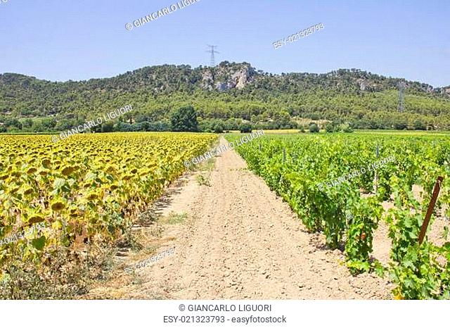Vineyard and Sunflower fields in the south of France