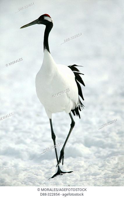 Red-Crowned Crane (Grus japonensis). Hokkaido, Japan