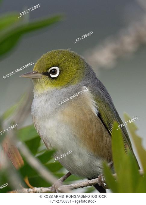The silvereye or wax-eye (Zosterops lateralis) is a very small omnivorous passerine bird of the south-west pacific. Whangarei, Northland, New Zealand