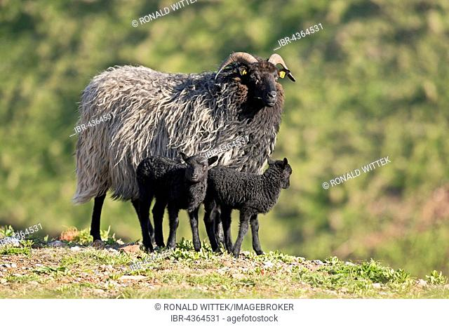 Heidschnucke, moorland sheep (Ovis ammon f.aries) with two lambs, Schleswig-Holstein, Heligoland, Germany